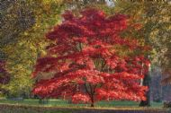 Acer Palmatum 'Red Emperor' 5 Seeds - Unique, Great Color
